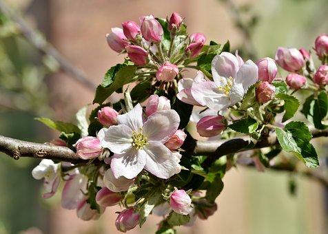 apple-blossoms-4136856__340