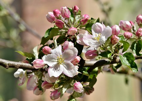 apple-blossoms-4136856__340