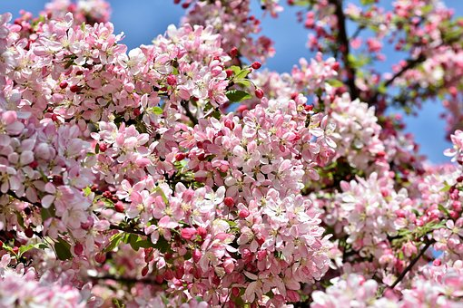 ornamental-apple-tree-4137543__340