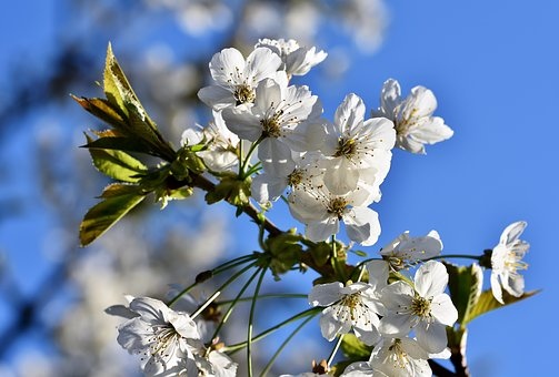 ornamental-cherry-4143674__340